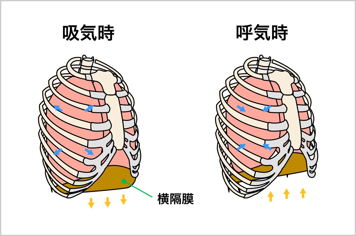 腹式呼吸の肺、横隔膜の動き