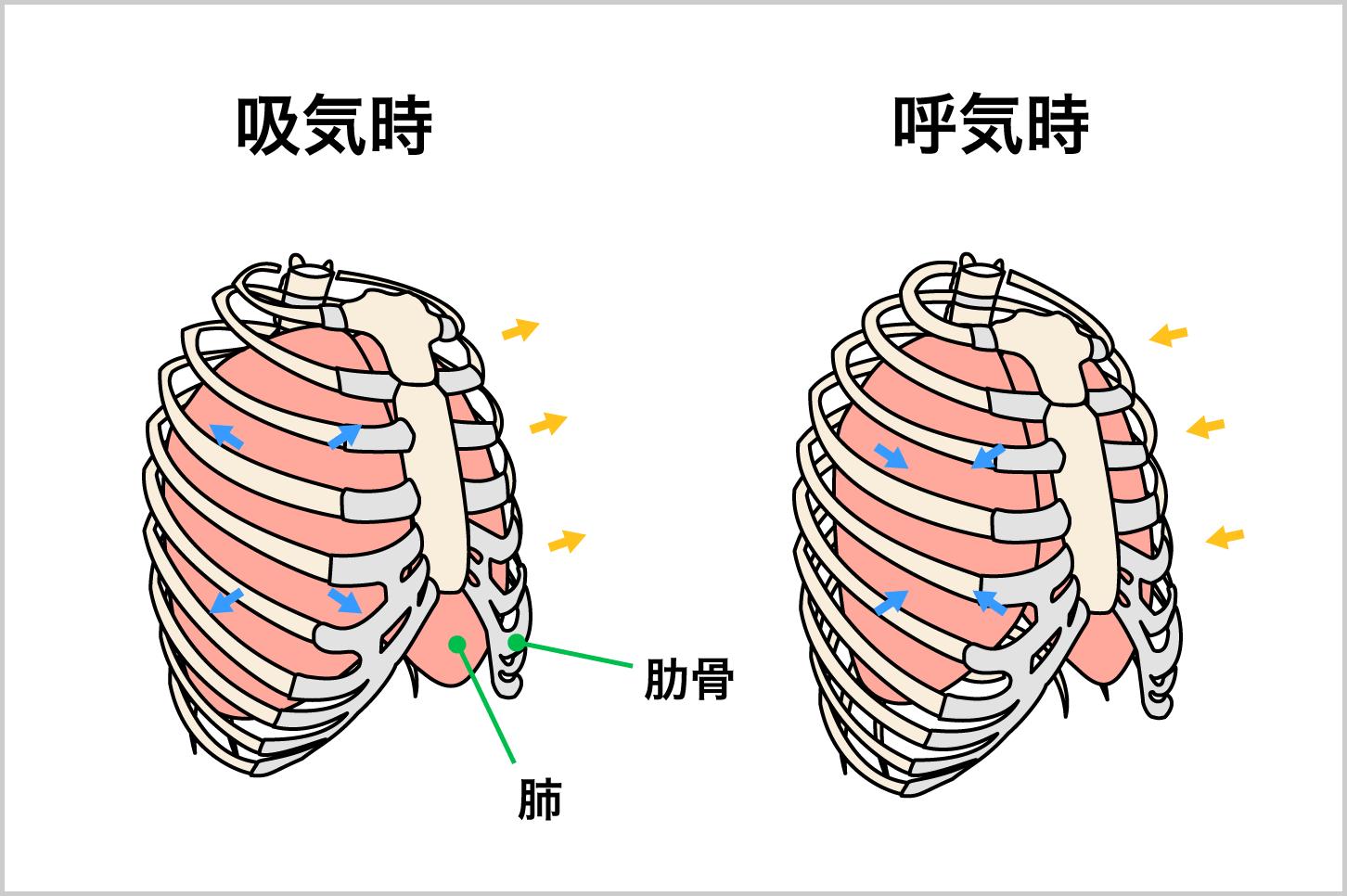 胸式呼吸の肺、肋骨の動き